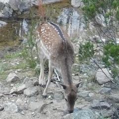 Dama dama (Fallow Deer) at Tennent, ACT - 18 May 2021 by ChrisHolder