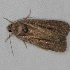 Leucania (genus) (A noctuid moth) at Melba, ACT - 19 Nov 2020 by Bron