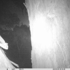 Petaurus norfolcensis (Squirrel Glider) at Wirlinga, NSW - 28 Mar 2021 by ChrisAllen