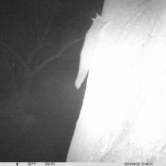 Petaurus norfolcensis (Squirrel Glider) at - 30 Apr 2021 by ChrisAllen