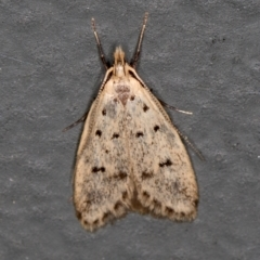 Atheropla decaspila (A concealer moth) at Melba, ACT - 18 Nov 2020 by Bron
