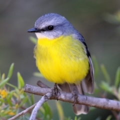Eopsaltria australis (Eastern Yellow Robin) at Acton, ACT - 28 May 2021 by RodDeb