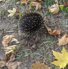 Tachyglossus aculeatus (Short-beaked Echidna) at West Wodonga, VIC - 25 May 2021 by ChrisAllen