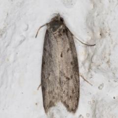 Nephogenes (genus) (TBC) at Melba, ACT - 27 May 2021 by kasiaaus