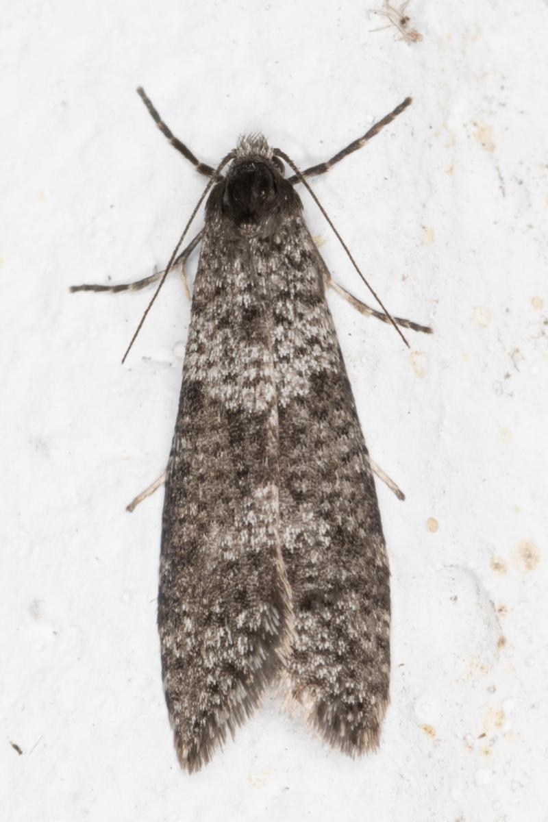 Lepidoscia adelopis at Melba, ACT - 27 May 2021