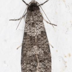 Lepidoscia adelopis (A case moth) at Melba, ACT - 27 May 2021 by kasiaaus