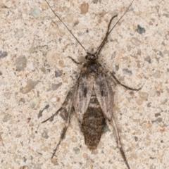 Philobota brachypterous female species at Melba, ACT - 28 May 2021 by kasiaaus