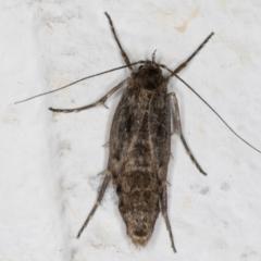Philobota brachypterous female species at Melba, ACT - 29 May 2021