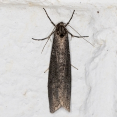 Lepidoscia (genus) (Unidentified cone case moth) at Melba, ACT - 28 May 2021 by kasiaaus