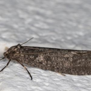 Lepidoscia (genus) at Melba, ACT - 29 May 2021