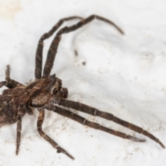 Unidentified Spider (Araneae) (TBC) at Melba, ACT - 28 May 2021 by kasiaaus