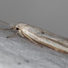 Oecophoridae (family) (Unidentified Oecophorid concealer moth) at Melba, ACT - 18 Nov 2020 by Bron