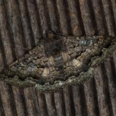 Eudesmeola lawsoni (Lawson's Night Moth) at Melba, ACT - 15 Nov 2020 by Bron