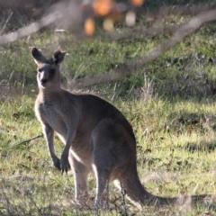 Macropus giganteus (Eastern Grey Kangaroo) at Albury - 28 May 2021 by PaulF