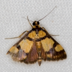 Deuterarcha xanthomela (A Crambid moth (Spilomelinae)) at Melba, ACT - 15 Nov 2020 by Bron