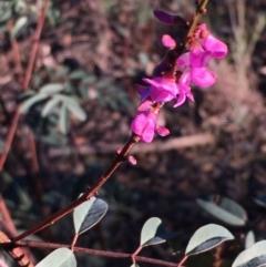 Indigofera australis subsp. australis (Australian Indigo) at Kowen, ACT - 29 May 2021 by JaneR