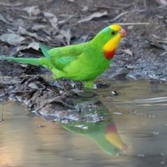 Polytelis swainsonii (Superb Parrot) at Kambah, ACT - 29 May 2021 by RodDeb