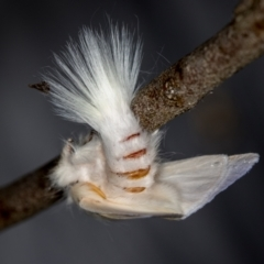 Trichiocercus sparshalli (Sparshall's Moth) at Melba, ACT - 16 Nov 2020 by Bron