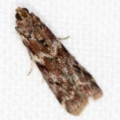 Ephestiopsis oenobarella (A Phycitinid moth) at Melba, ACT - 16 Nov 2020 by Bron