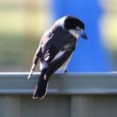 Cracticus torquatus (Grey Butcherbird) at Albury - 30 May 2021 by PaulF