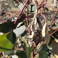 Hyalarcta huebneri (Leafy Case Moth) at Environa, NSW - 29 May 2021 by Wandiyali