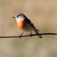 Petroica boodang (Scarlet Robin) at Wodonga - 30 May 2021 by Kyliegw