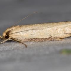 Philobota mathematica group undescribed species. (A concealer moth) at Melba, ACT - 16 Nov 2020 by Bron