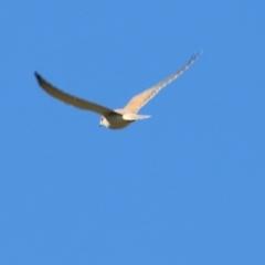 Falco cenchroides (Nankeen Kestrel) at Wodonga - 30 May 2021 by Kyliegw