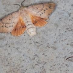 Entometa undescribed species nr fervens (Common Gum Snout Moth) at Melba, ACT - 15 Nov 2020 by Bron