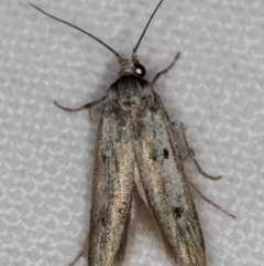 Unidentified Moth (Lepidoptera) (TBC) at Melba, ACT - 13 Nov 2020 by Bron
