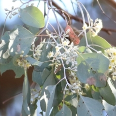 Eucalyptus polyanthemos subsp. vestita (Red Box) at Wodonga - 30 May 2021 by Kyliegw