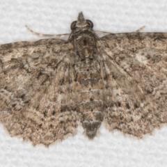 Chloroclystis filata (Filata Moth, Australian Pug Moth) at Melba, ACT - 13 Nov 2020 by Bron