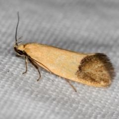 Delexocha ochrocausta (A concealer moth) at Melba, ACT - 13 Nov 2020 by Bron