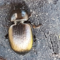 Adelium brevicorne (Bronzed field beetle) at Stromlo, ACT - 30 May 2021 by tpreston