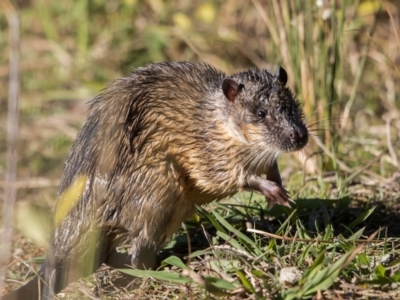 Hydromys chrysogaster (Rakali or Water Rat) at Lake Burley Griffin West - 30 May 2021 by dannymccreadie