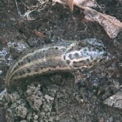 Limax maximus (Leopard Slug, Great Grey Slug) at Flea Bog Flat, Bruce - 25 May 2021 by Ned_Johnston
