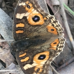 Junonia villida (Meadow Argus) at Mulloon, NSW - 23 May 2021 by Ned_Johnston