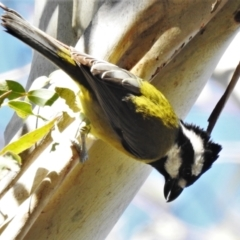 Falcunculus frontatus (Crested Shrike-tit) at Paddys River, ACT - 30 May 2021 by JohnBundock