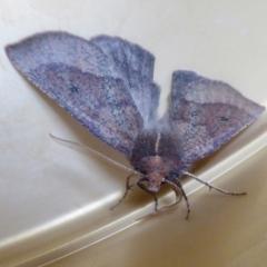 Fisera (genus) (Unidentified Fisera moths) at Yass River, NSW - 29 May 2021 by SenexRugosus
