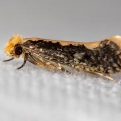 Monopis crocicapitella (Bird Nest Moth) at Melba, ACT - 14 Nov 2020 by Bron