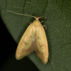 Aeolothapsa malacella (A Concealer moth) at Melba, ACT - 13 Nov 2020 by Bron