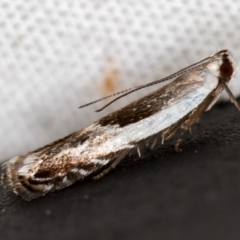 Ardozyga hemichlaena (A Gelechioid moth) at Melba, ACT - 10 Nov 2020 by Bron
