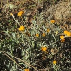 Chrysocephalum apiculatum (Common Everlasting) at Conder, ACT - 30 Mar 2021 by michaelb