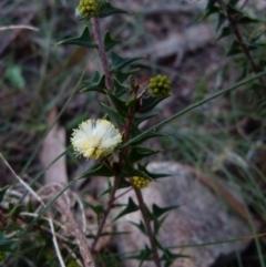 Acacia gunnii (Ploughshare Wattle) at Boro, NSW - 28 May 2021 by Paul4K