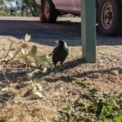 Gymnorhina tibicen (Australian Magpie) at - 31 May 2021 by ChrisAllen
