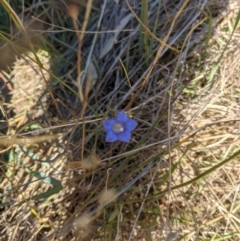 Wahlenbergia sp. (Bluebell) at - 31 May 2021 by ChrisAllen