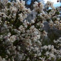 Cryptandra amara (Bitter cryptandra) at Boro, NSW - 28 May 2021 by Paul4K