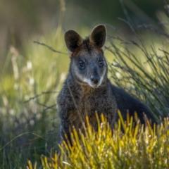 Wallabia bicolor (Swamp Wallaby) at Jerrawa, NSW - 29 May 2021 by trevsci