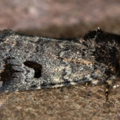 Thoracolopha verecunda (A Noctuid moth (group)) at Melba, ACT - 13 Nov 2020 by Bron