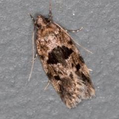 Barea melanodelta (A Concealer moth) at Melba, ACT - 10 Nov 2020 by Bron